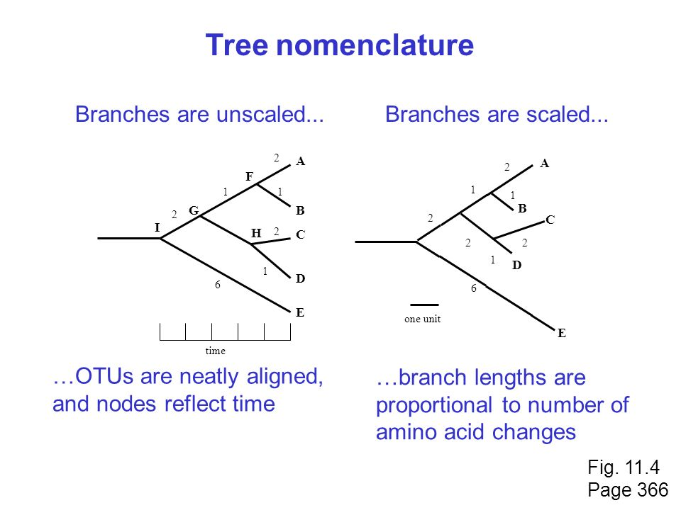 Tree nomenclature Branches are unscaled... Branches are scaled...