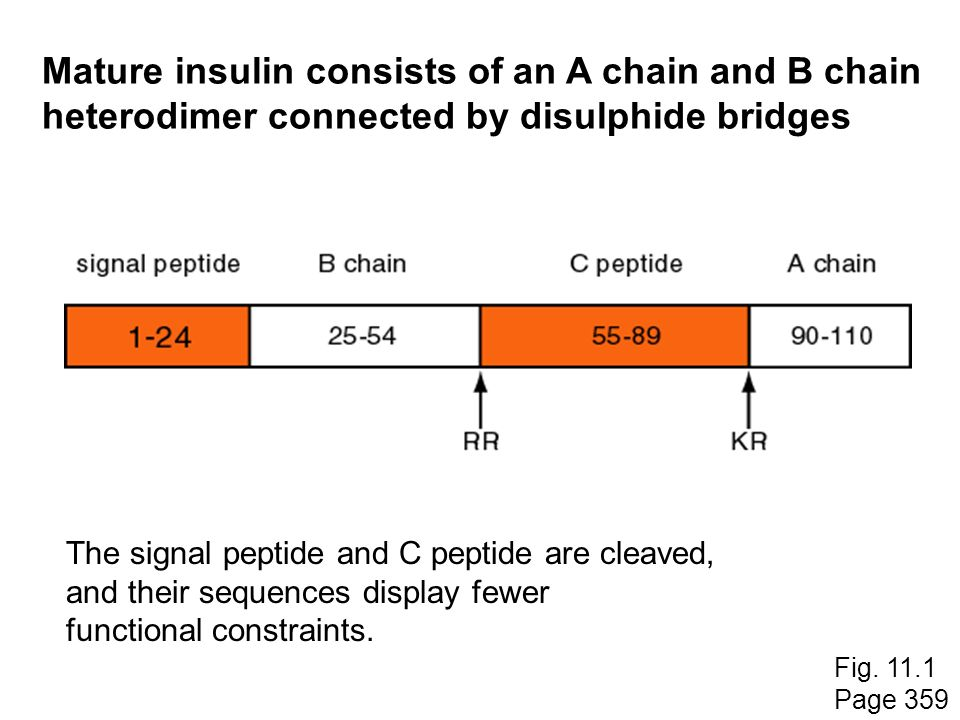 Mature insulin consists of an A chain and B chain