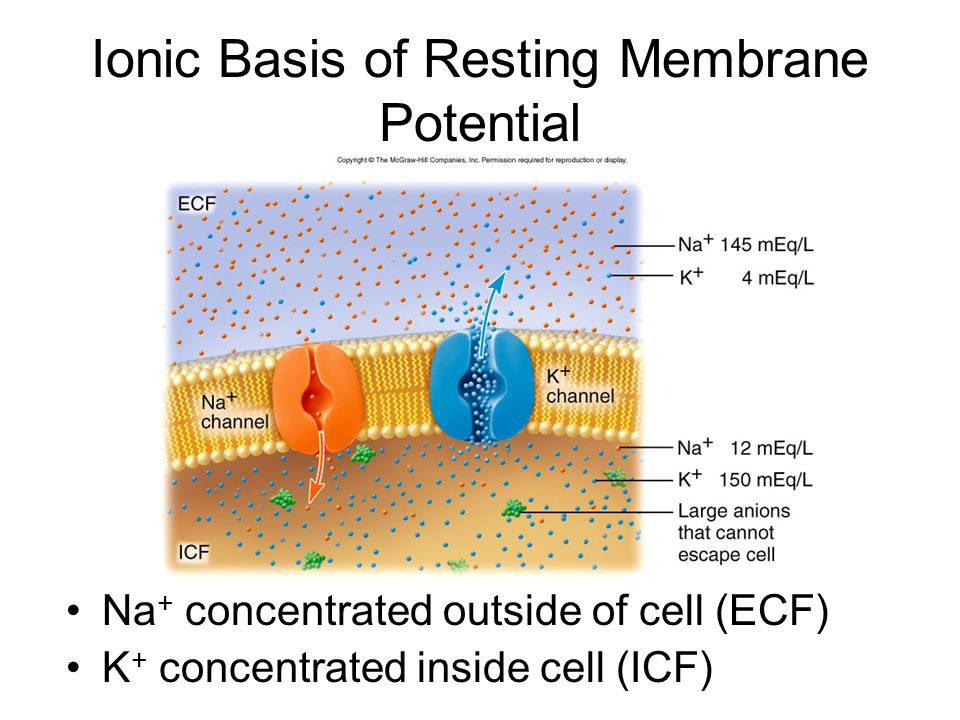 Ionic Basis of Resting Membrane Potential