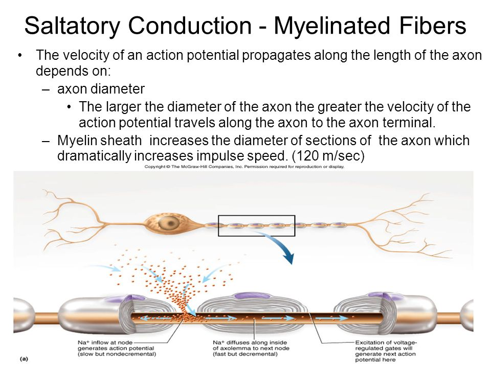 Saltatory Conduction - Myelinated Fibers