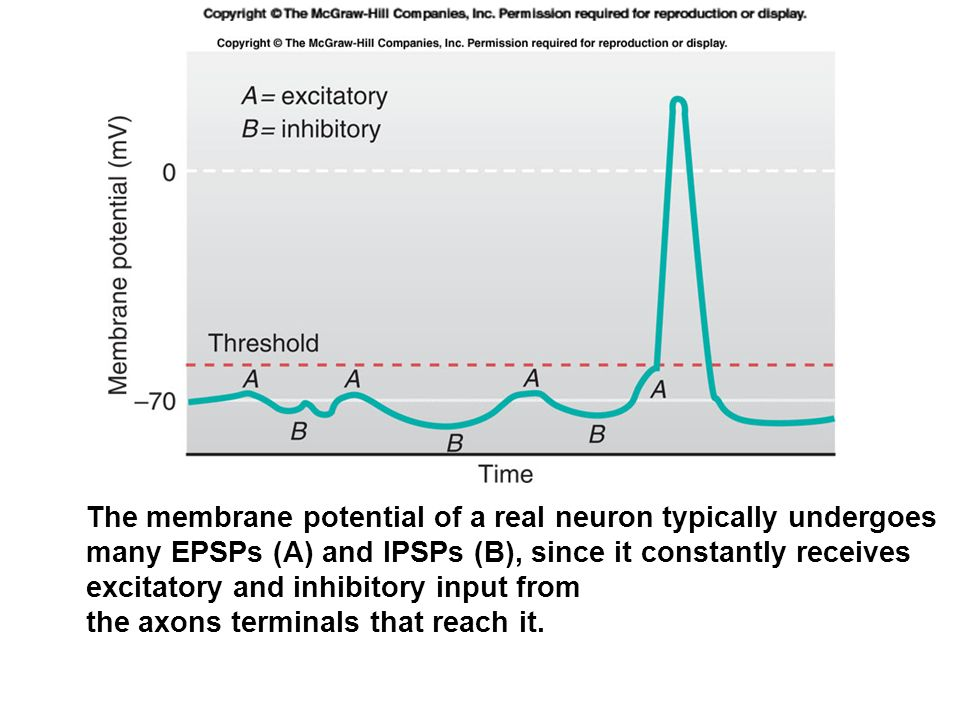 The membrane potential of a real neuron typically undergoes many EPSPs (A) and IPSPs (B), since it constantly receives excitatory and inhibitory input from the axons terminals that reach it.