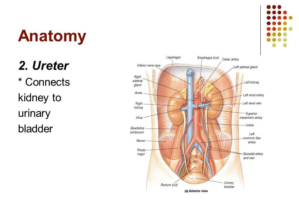 department of human anatomy ppt video online download. Black Bedroom Furniture Sets. Home Design Ideas