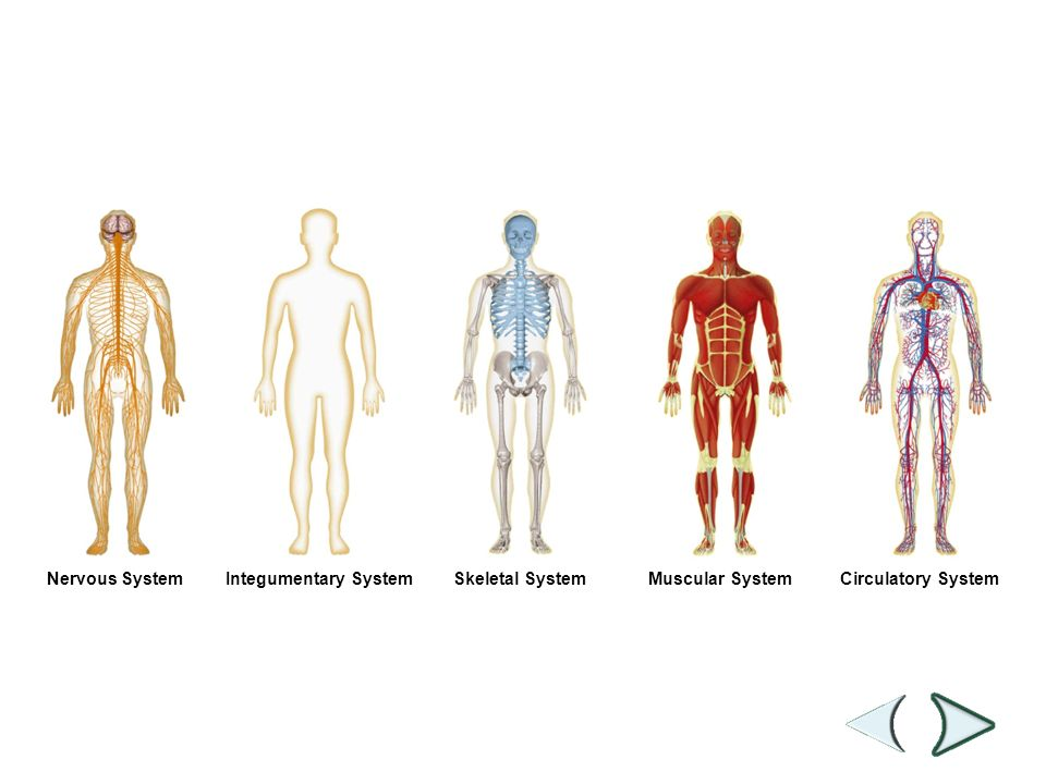 Figure 35-2 Human Organ Systems Part I - ppt download