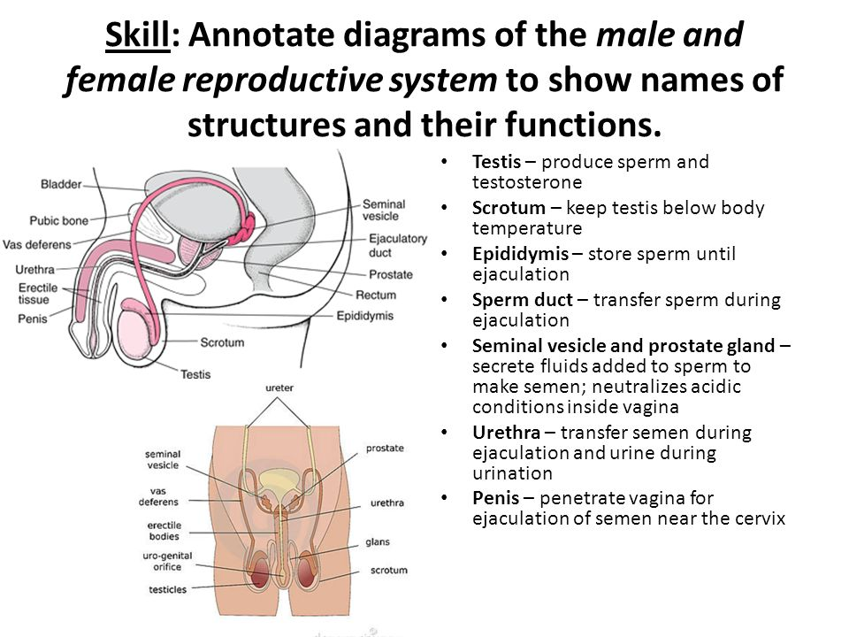 Female Reproductive System Diagram And Name Block And Schematic