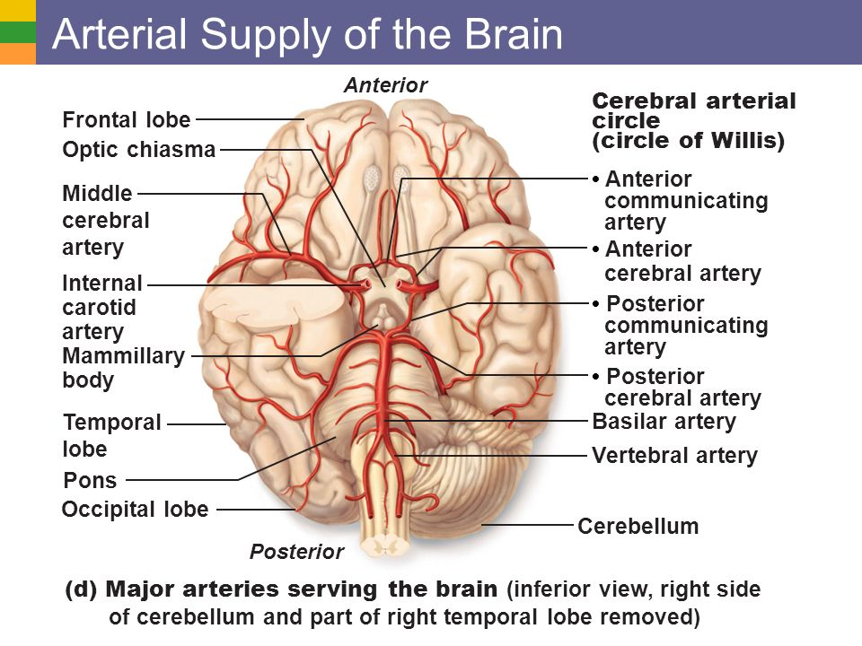 Cardiovascular system blood vessels ppt video online download arterial supply of the brain ccuart Choice Image