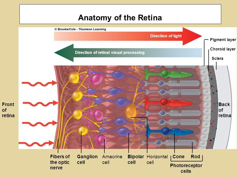 Sensory Transduction Olfaction Chemoreceptors Photoreceptors Vision ...
