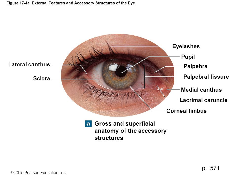 Figure 17-4a External Features and Accessory Structures of the Eye