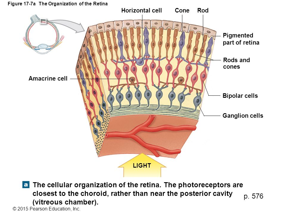 Figure 17-7a The Organization of the Retina
