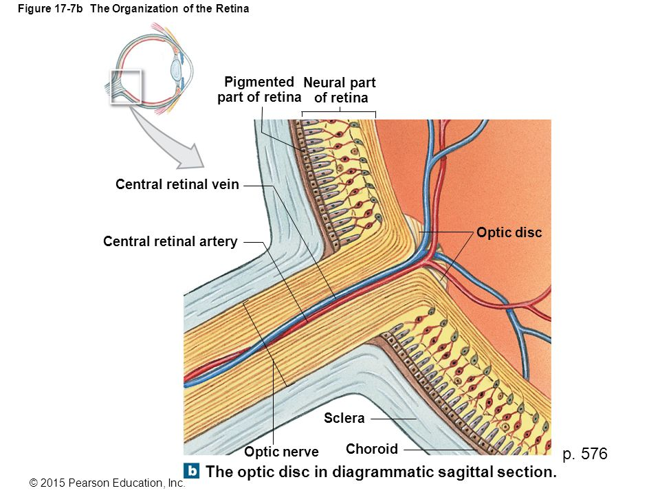 Figure 17-7b The Organization of the Retina