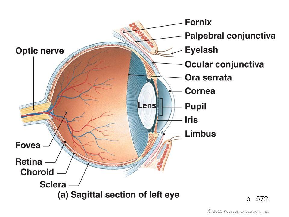 Magnificent Eye Anatomy Limbus Illustration - Anatomy And Physiology ...