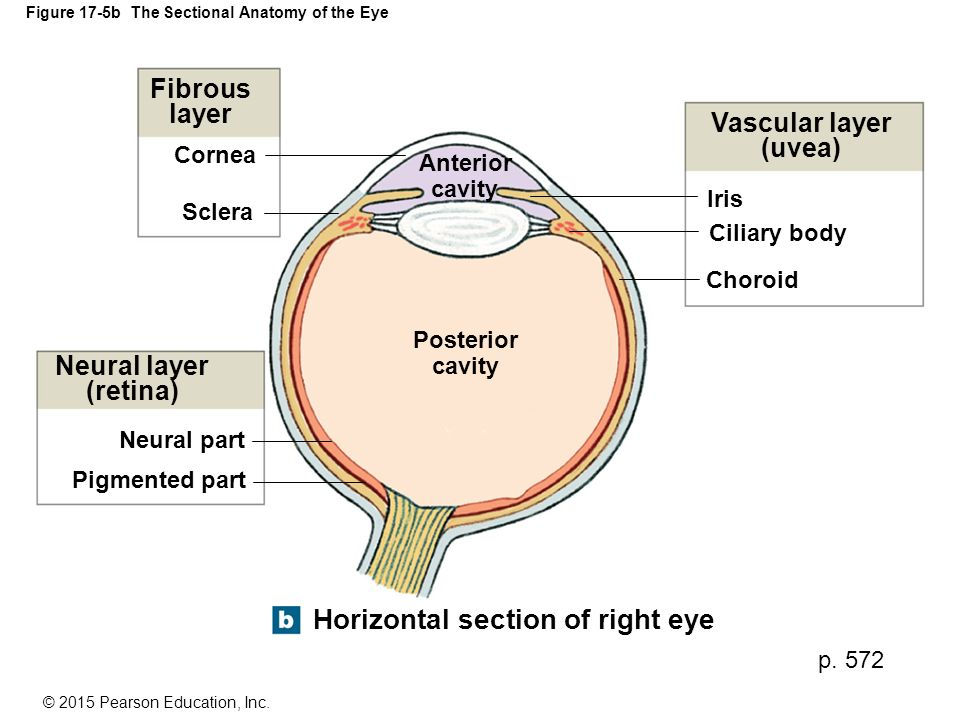 Figure 17-5b The Sectional Anatomy of the Eye