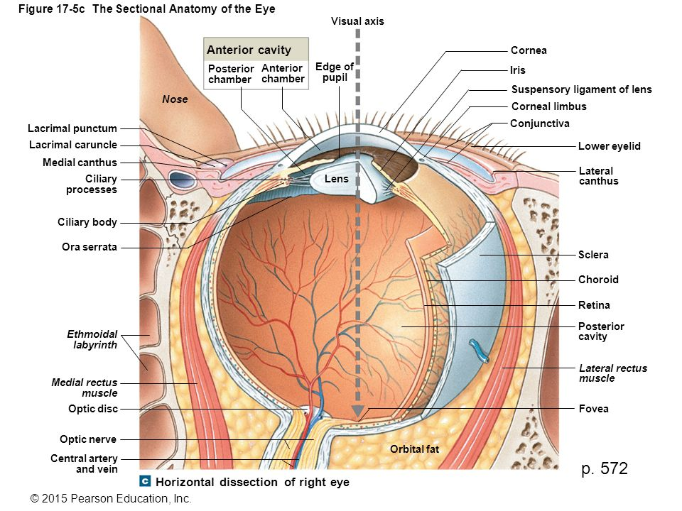 Figure 17-5c The Sectional Anatomy of the Eye