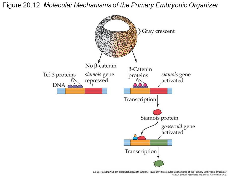 Figure Molecular Mechanisms of the Primary Embryonic Organizer