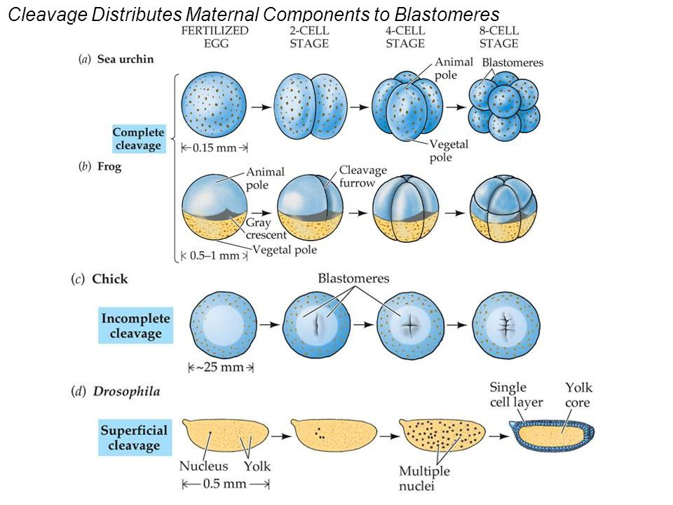Cleavage Distributes Maternal Components to Blastomeres