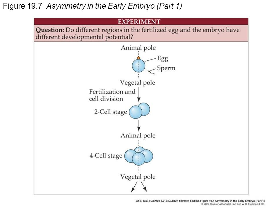 Figure 19.7 Asymmetry in the Early Embryo (Part 1)