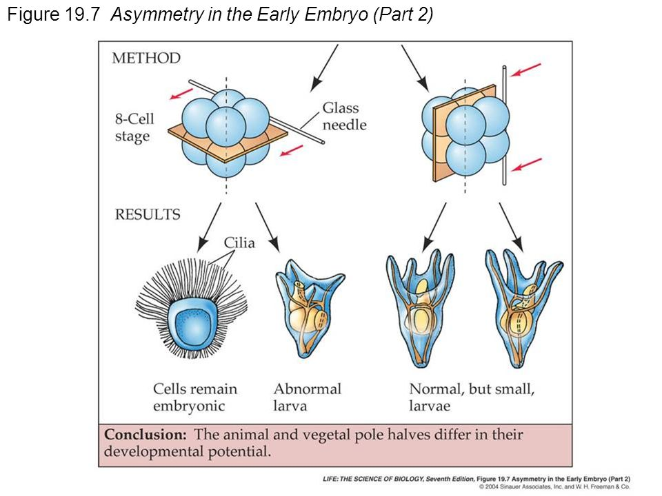 Figure 19.7 Asymmetry in the Early Embryo (Part 2)