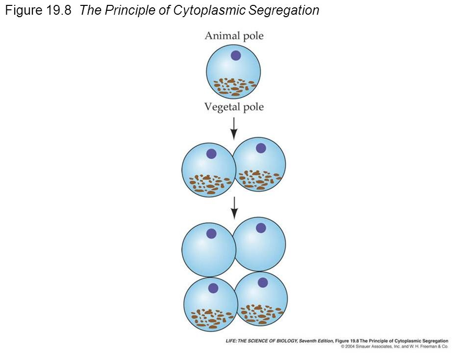 Figure 19.8 The Principle of Cytoplasmic Segregation