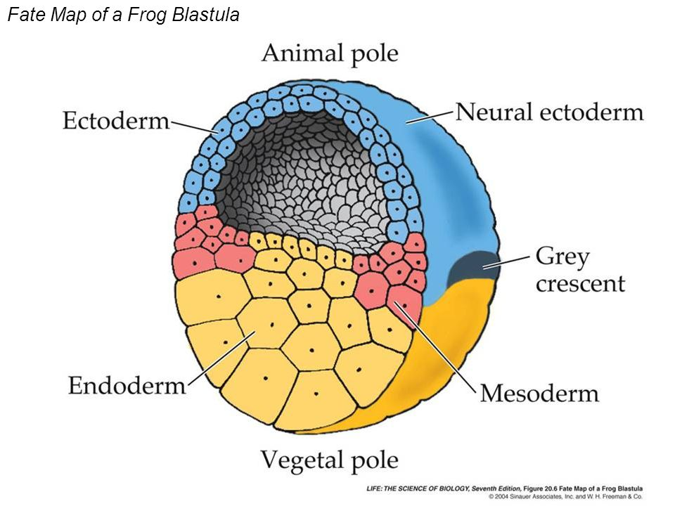 Fate Map of a Frog Blastula