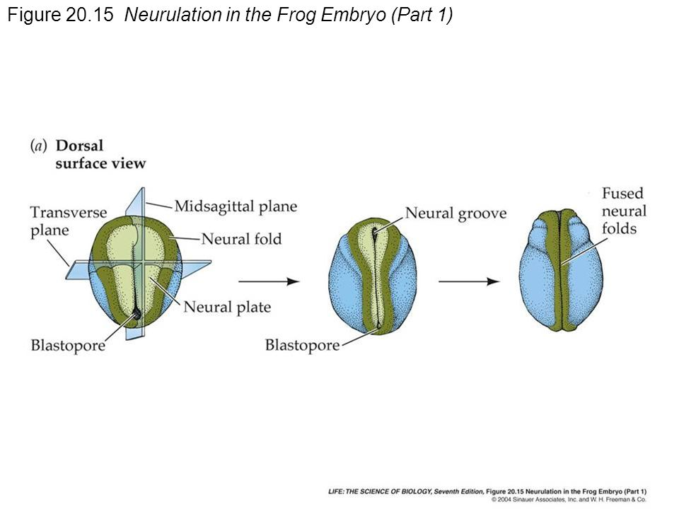 Figure Neurulation in the Frog Embryo (Part 1)
