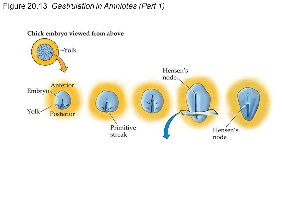 Figure Gastrulation in Amniotes (Part 1)
