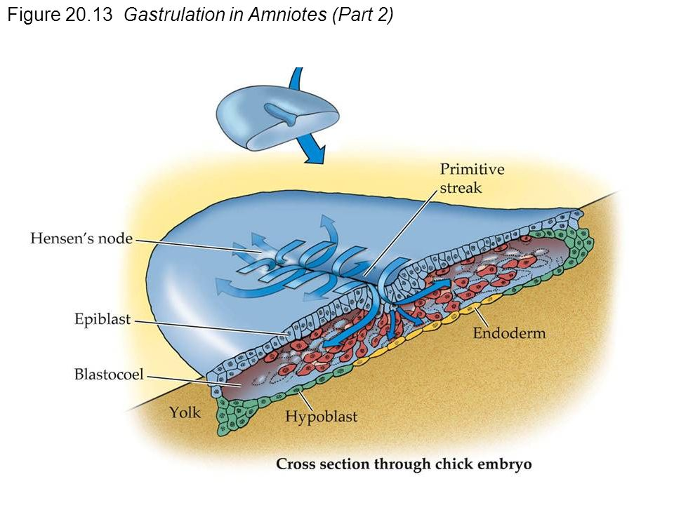 Figure Gastrulation in Amniotes (Part 2)
