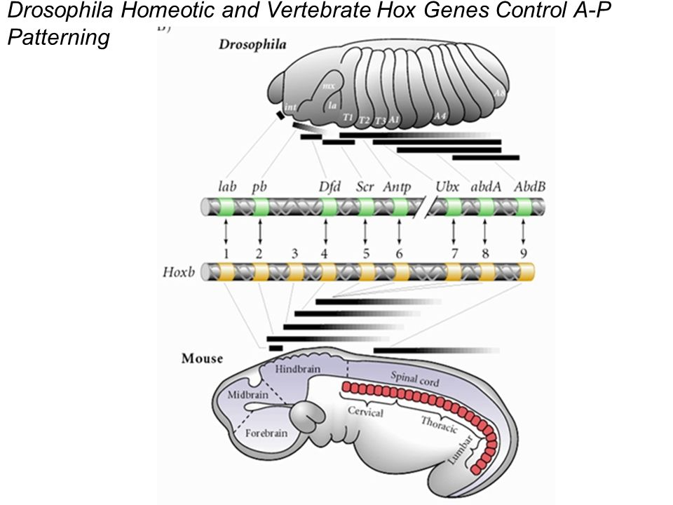 Drosophila Homeotic and Vertebrate Hox Genes Control A-P Patterning