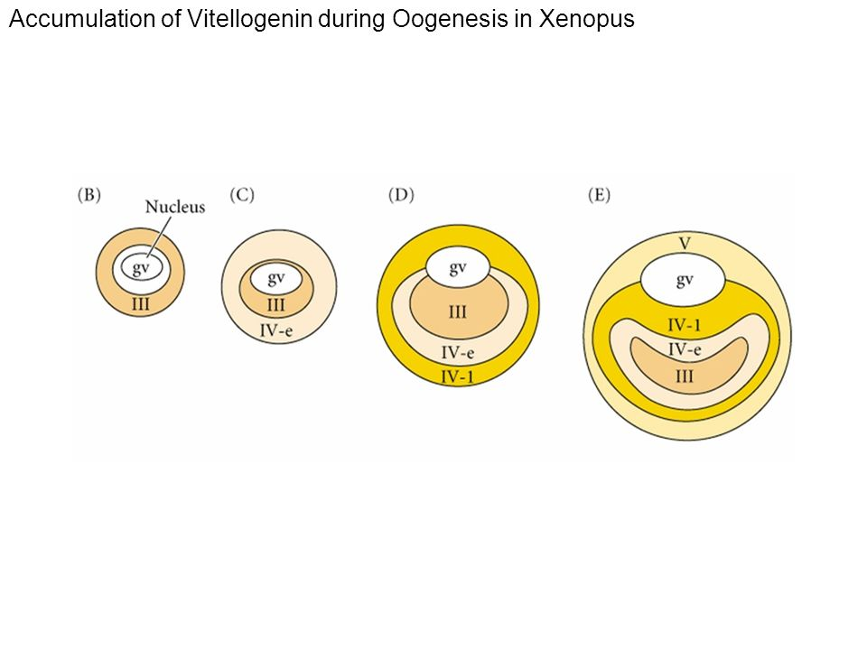 Accumulation of Vitellogenin during Oogenesis in Xenopus