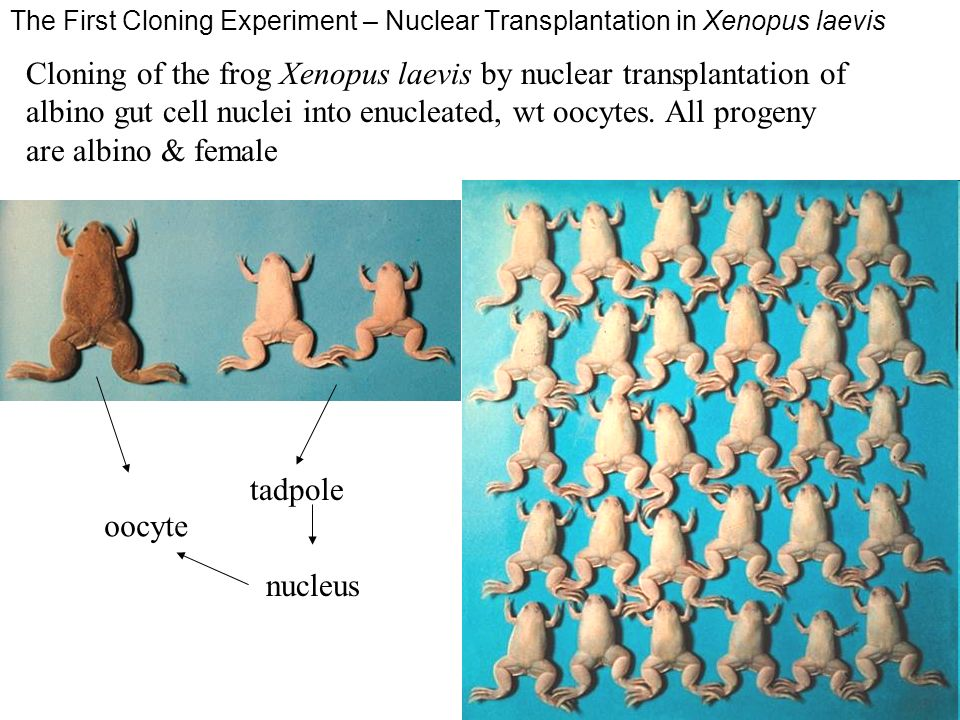 The First Cloning Experiment – Nuclear Transplantation in Xenopus laevis