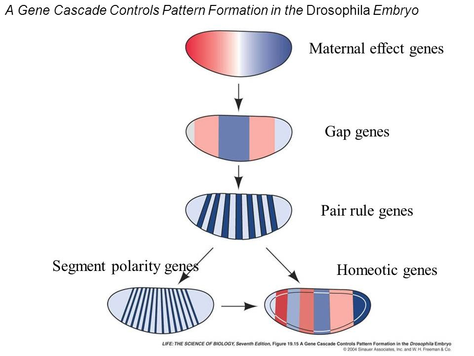 A Gene Cascade Controls Pattern Formation in the Drosophila Embryo