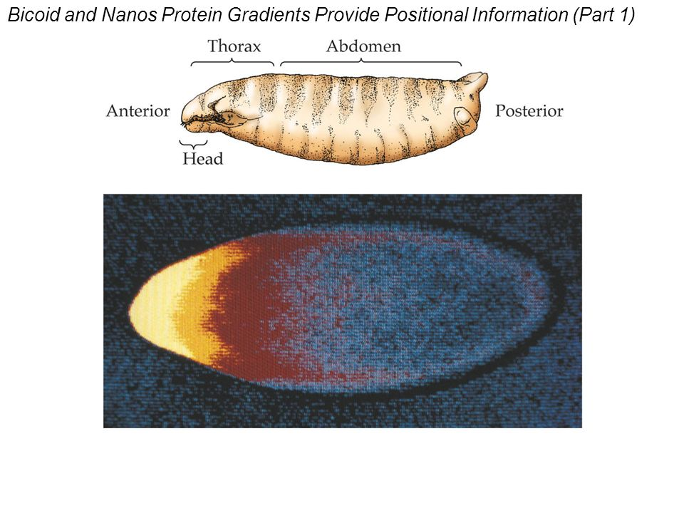 Bicoid and Nanos Protein Gradients Provide Positional Information (Part 1)