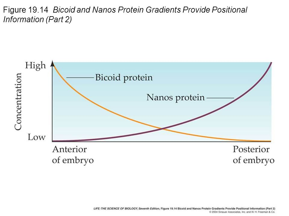 Figure Bicoid and Nanos Protein Gradients Provide Positional Information (Part 2)