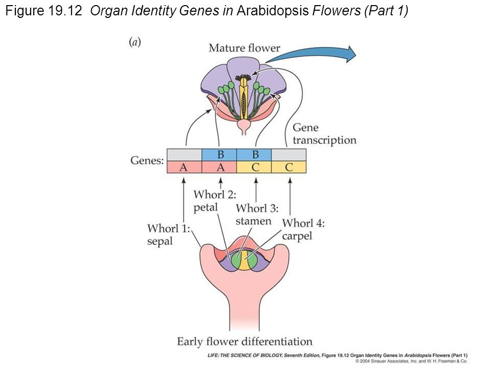 Figure Organ Identity Genes in Arabidopsis Flowers (Part 1)
