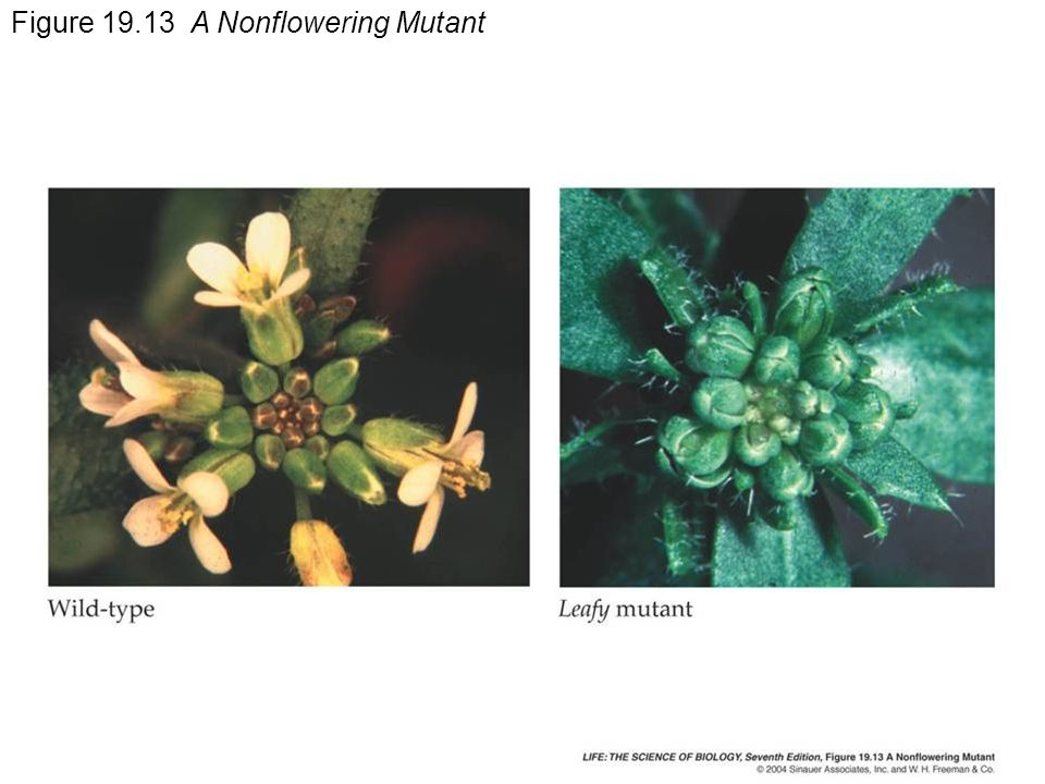 Figure A Nonflowering Mutant