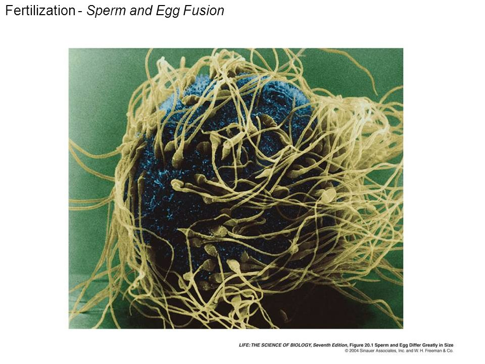 Fertilization - Sperm and Egg Fusion