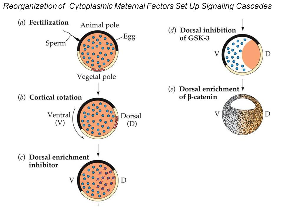 Reorganization of Cytoplasmic Maternal Factors Set Up Signaling Cascades