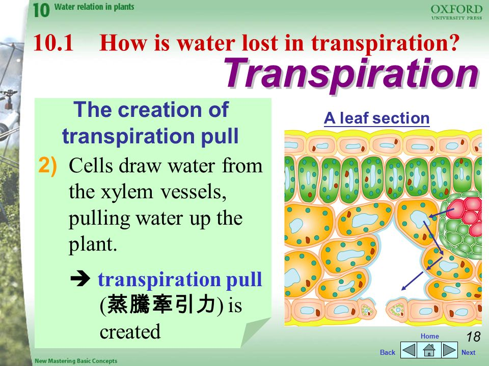 what is transpiration pull in plants