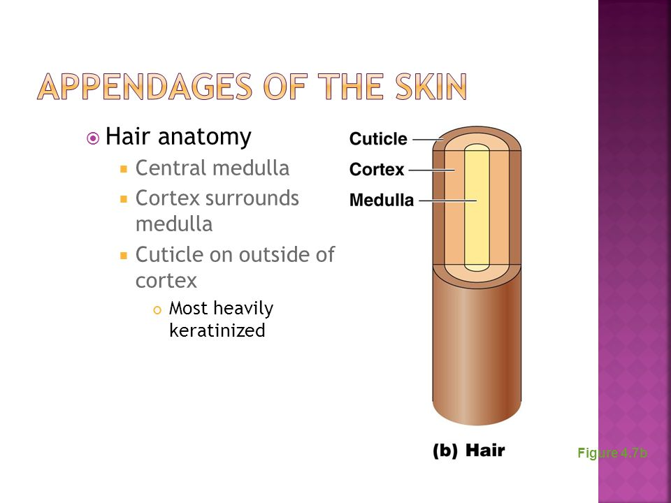 Appendages of the Skin Hair anatomy Central medulla