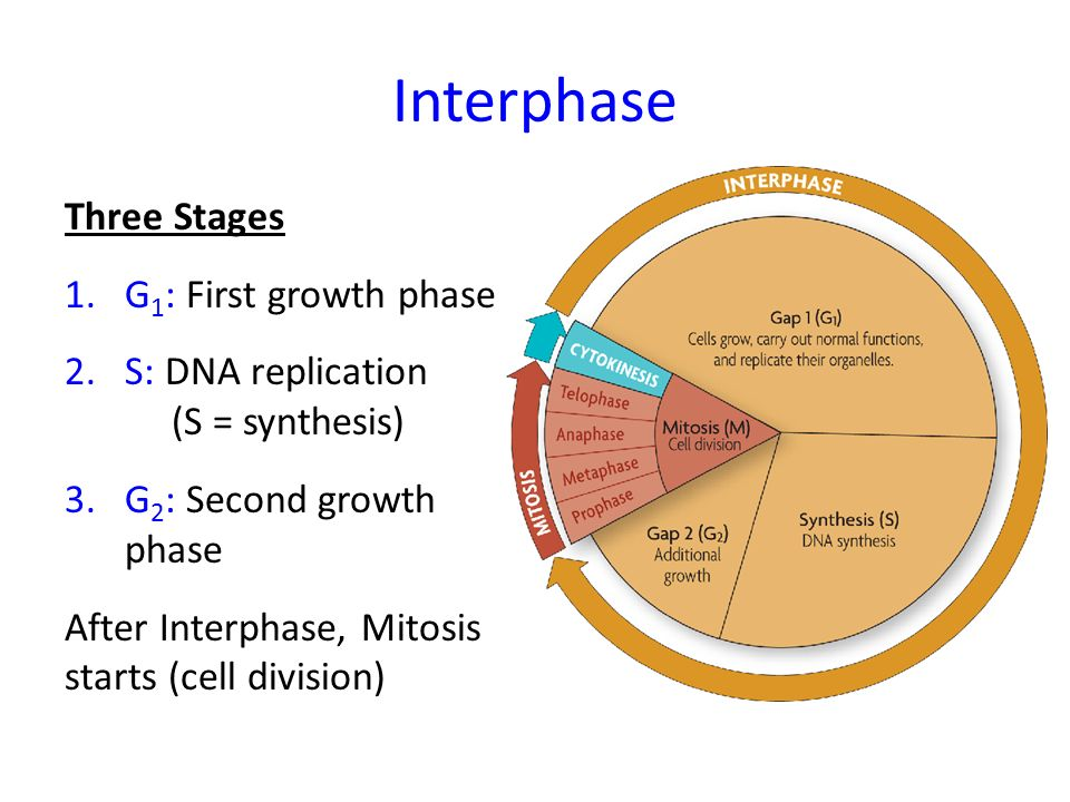 Interphase mitosis diagram parts electrical work wiring diagram cell division mitosis ppt video online download rh slideplayer com mitosis diagram labeled what happens in interphase of mitosis ccuart Gallery