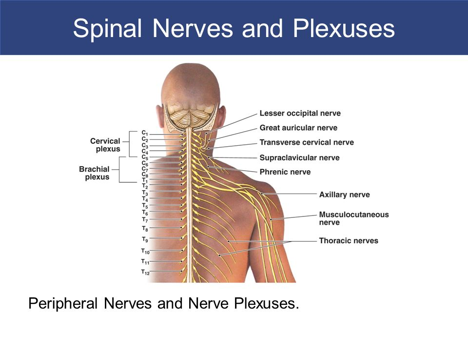 Spinal Cord Spinal Nerves Spinal Reflexes Ppt Video Online Download