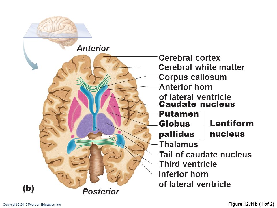 THE CENTRAL NERVOUS SYSTEM: PART B - ppt download