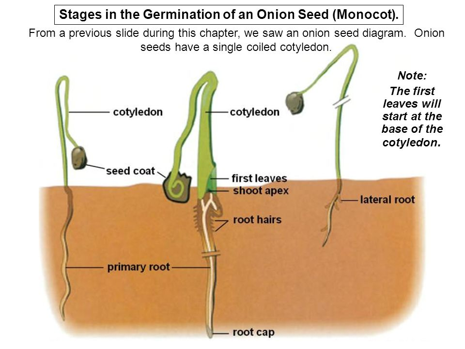 Seeds fruits ppt video online download from a previous slide during this chapter we saw an onion seed diagram onion seeds have a single coiled cotyledon note the first leaves will start at ccuart Image collections