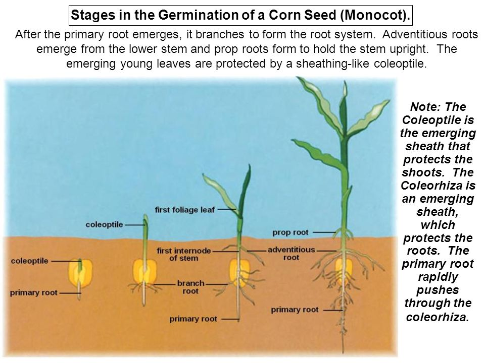 mercury effect on seed germination Mercury had a dose-dependent effect on the seeds in the most dilute solutions mercury partially inhibited the imbibition process, whereas in the most concentrated solutions it caused the death of the embryos.