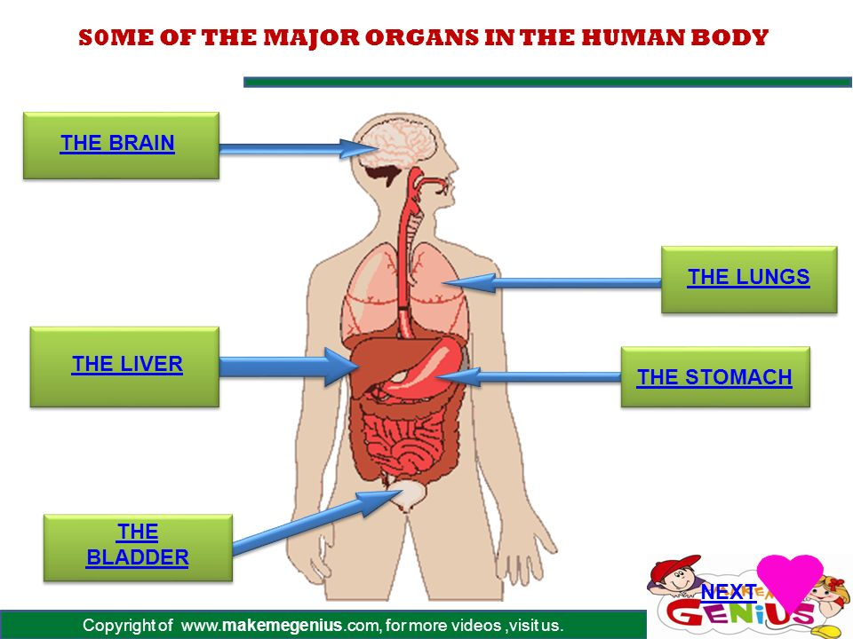S0me Of The Major Organs In The Human Body Ppt Download