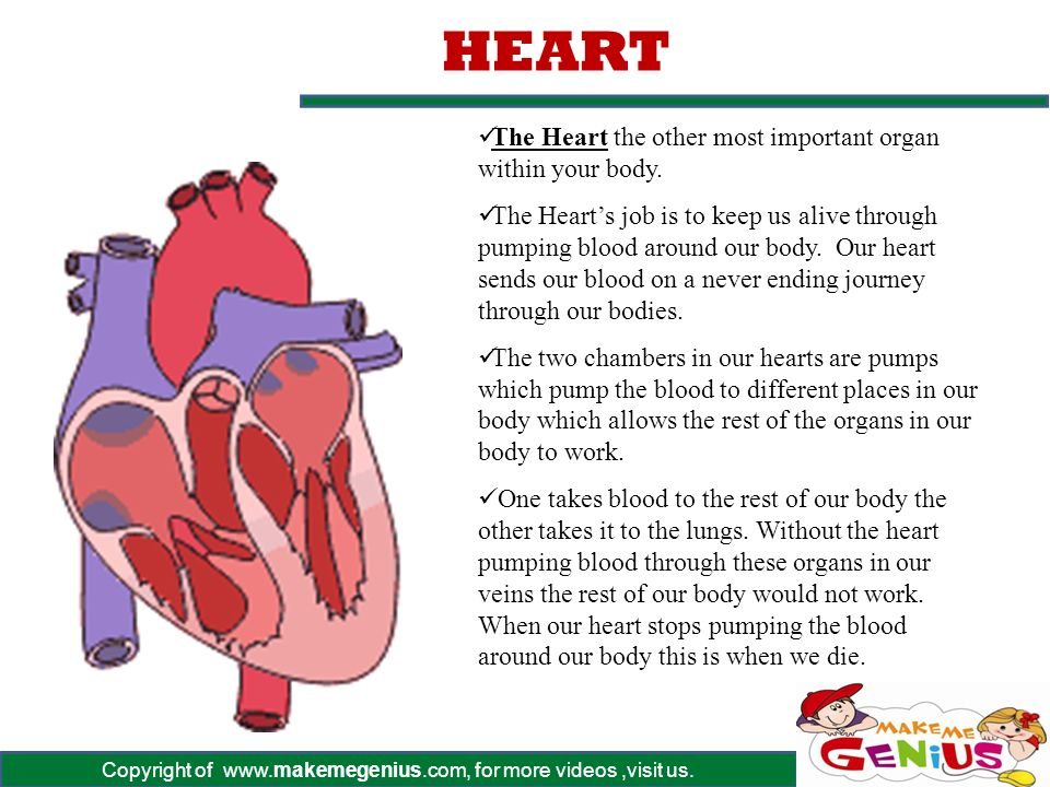 S0ME OF THE MAJOR ORGANS IN THE HUMAN BODY - ppt download