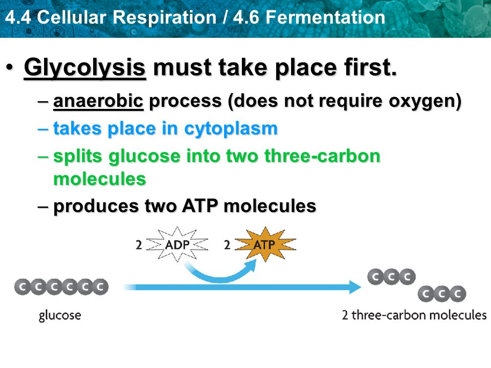 Glycolysis must take place first.