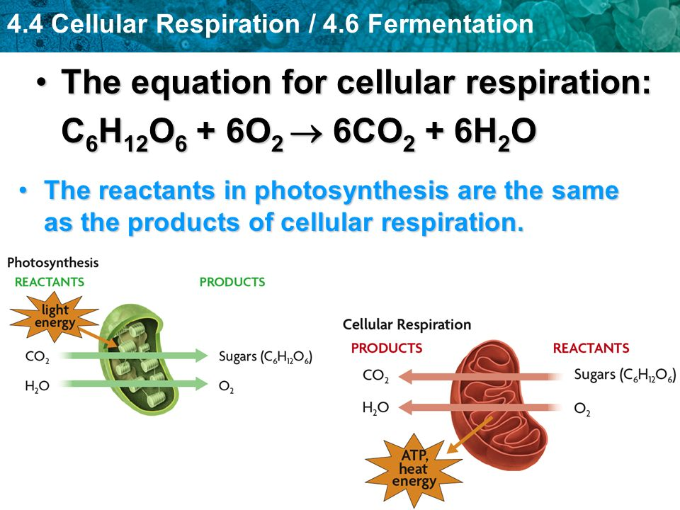 The equation for cellular respiration: C6H12O6 + 6O2  6CO2 + 6H2O