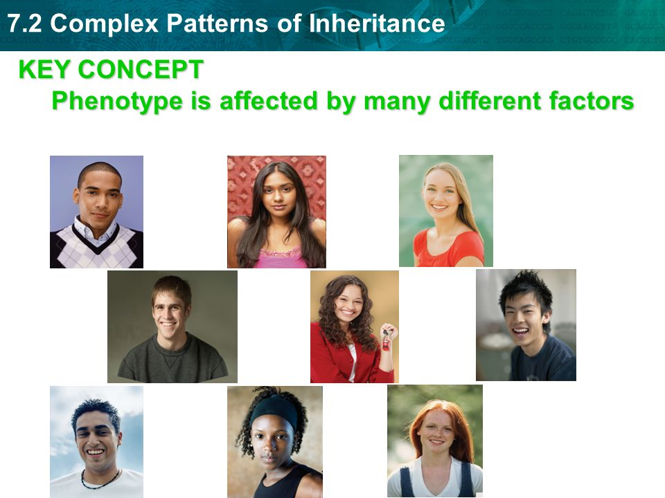 KEY CONCEPT Phenotype is affected by many different factors