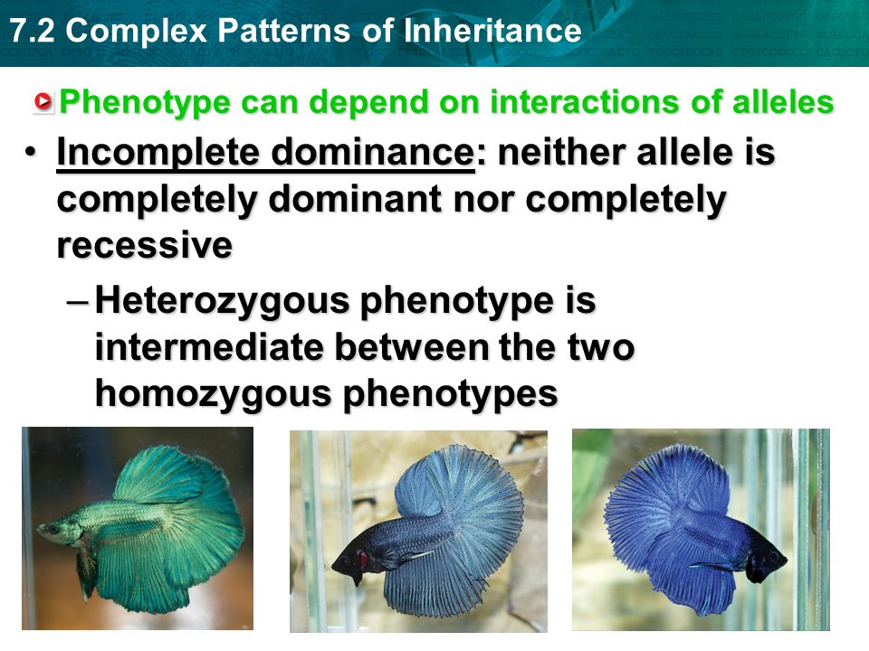 Phenotype can depend on interactions of alleles