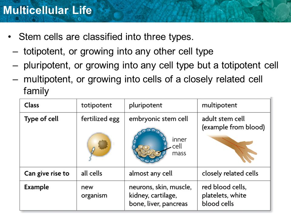 Stem cells are classified into three types.