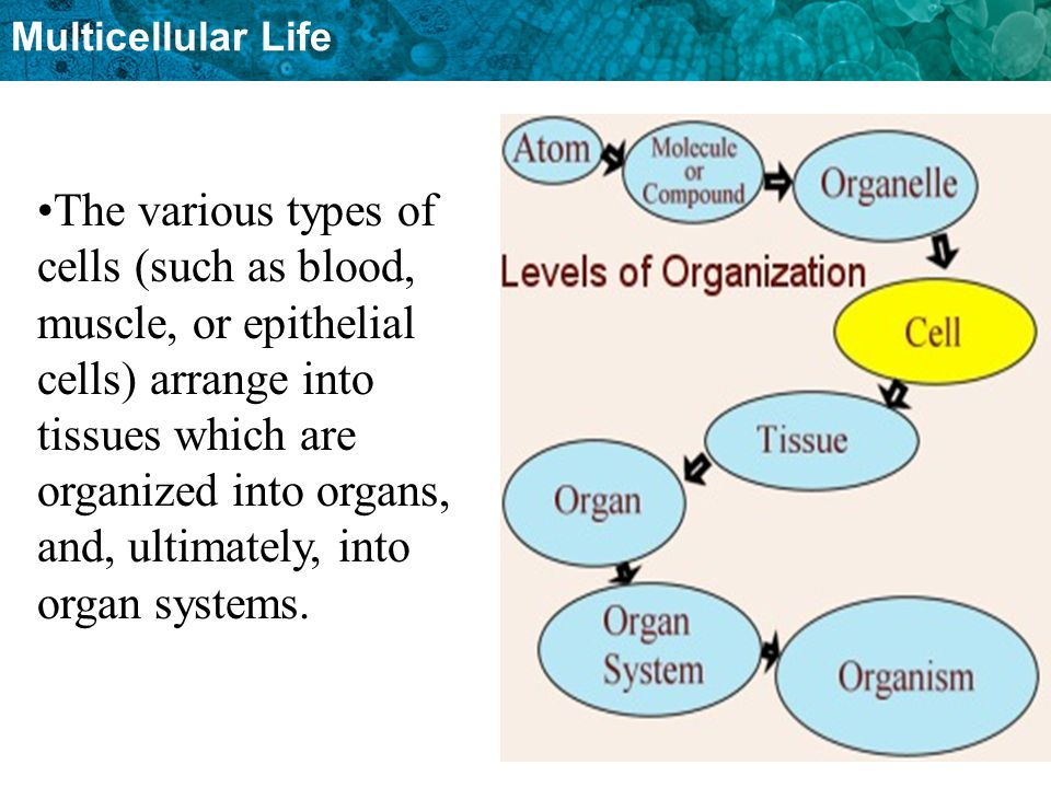 The various types of cells (such as blood, muscle, or epithelial cells) arrange into tissues which are organized into organs, and, ultimately, into organ systems.